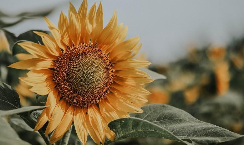 Texte umschreiben Beitragsbild 1 Stil: Nahaufnahme einer Sonnenblume auf dem Feld